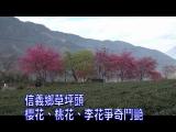 草坪頭櫻花、桃花、李花爭奇鬥艷