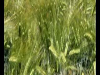 梵谷看到的大麥田
