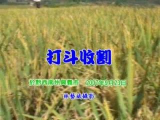 打抖方式收割稻米